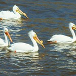 Mississippi River Pelicans thumbnail