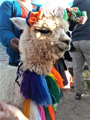 918631879 (ylenia.mestriner) Tags: alpaca peru south america cholita andes mountain cold colors city view landscape typical dress animal soft lama personal traveling wanderlust year abroad