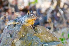 California Ground Squirrel (Allan Hack) Tags: hiking almadenlake animals wildlife californiagroundsquirrel sanjose california unitedstates us
