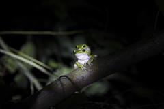 3304-1 (**Hu) Tags: rhacophorus arvalis frog taiwan tsulôkuān chiayi canon macro 180mm animal ökologie ecosystem asia 台灣特有種 嘉義 生態 樹蛙