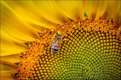 """Bee-autiful"" (hey its k) Tags: 2018 boglefarm flowers hamilton nature sunflowers ontario canada ca img3954e canon6d macro bee pollen"