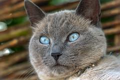The guard (katjacarmel) Tags: cat animal macro chat portrait portret eyes kat kater gato huisdier nature blue outside guard katze ogen blauw