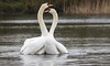 Spooning (Paul A Wiles) Tags: mute swans watermeadcountrypark