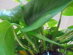 DSC03197 (classroomcamera) Tags: classroom school pot pots potting soil dirt plant plants leaf leaves leafy green white closeup air clean cleans cleaning stem stems vein veins