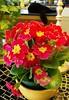 Primula - a bit of springtime for the kitchen (Karen @ Wall Flower Studio) Tags: wallflowerstudio springflowersprimulaandlunaapr212018 karensloan primrose spring 2018
