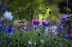 Field of Anemone (Stefano Rugolo) Tags: stefanorugolo pentax k5 pentaxk5 smcpentaxm50mmf17 ricohimaging bokeh depthoffield anemonecoronaria field flowers spring colors marche italy vintagelens manualfocus pentaxprime primelens fiori blommor