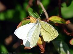 Piérides de la rave (Pieris rapae) (zogt2000 (No Video)) Tags: pierisrapae papillon butterfly piéridedelarave jardin garden
