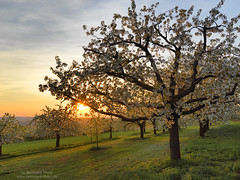 Cherry blossom at Walberla 2018-1 (Bernhard_Thum) Tags: bernhardthum thum h6d100 hc3550ii hasselblad cherryblossom nature franken sunset light