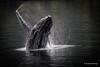 _I4A8360-3-copia (sperezaraya) Tags: ballena animal bn fauna naturaleza estrecho magallanes