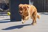 Ball-seeking Missile (Peeb-OK) Tags: golden goldenretriever dog ball fetch nikon animal