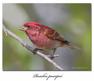 Roselin pourpré / Purple Finch 153A5625