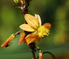 Bulbine frutescens (longk48) Tags: bulbine frutescens