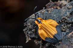 Net Winged Beetle (Tom's Macro and Nature Photographs) Tags: macrophotography insects beetles coleoptera lycidae netwingedbeetle mozambique africa gorongosa