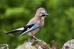 Jay - 'Punk Rocker' (Bill Richmond) Tags: jay garrulusglandarius corvid corvidae crows nikond810 nikon500f4 juvenile