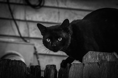The Stray (_Lionel_08) Tags: stray cat feral black evil animal cute white fence wild feline