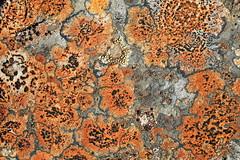 Skófir (hó) Tags: lichen skófir rock red grey patterns abstract nature iceland snæfellsnes may 2018