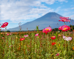 Summer Fuji and flowers (shinichiro*@OSAKA) Tags: 20180711sdim4101 2018 crazyshin sigmasdquattroh sdqh sigma1770mmf284dcmacrohsm july summer fuji flower macro yamanashi lakeyamanaka japan jp 花の都公園 ポピー 28507490047 3126612 201807gettyuploadesp