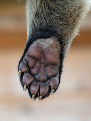 The paw (Happy snappy nature) Tags: paw detail closeup outdoors nature binturong nikond500 nikon70200f28vrii hoofarm