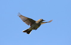 Parachuting (billywhiz07) Tags: meadow pipit bird uk flight parachuting