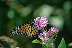 monarch (avflinsch) Tags: ifttt 500px metamorphosis monarch entomology nectar insect lepidoptera butterfly flowers summer yellow blossom white bloom beauty closeup green garden plant color red natural beautiful flora