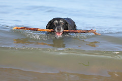 Got it :D (Pog's pix) Tags: poppy dog old pet cute fun behaviour swimming sea fetching stick coastal beach stcyrus aberdeenshire scotland