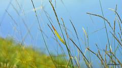 2018-07-0718 evening at the pond, wildgrass , artwork (profmarilena) Tags: artwork collage macro closeup profmarilena wildgrass