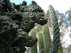 Prehistoric Plants (communicatingcreativelydj) Tags: cactiandsucculents cacti optunia echinopsis dslr photography