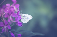 Graceful (marcmyr) Tags: bokeh flower weisling schmetterling peaceful sommer tamron90mm d610 butterfly bug nature soft summer warm dof colorful purple white nikon macro