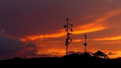 Sundown sentinals (jimsc) Tags: sunset sundown skyscape westernsky skycolors eveningskyshow endofday yucca stalk seedpod july summer monsoon ngc orange desert sonorandesert arizona pimacounty tucson catalina panasonic fz200 jimsc