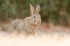 Wild Rabbit bunny (Wouter's Wildlife Photography) Tags: wildrabbit rabbit rodent animal mammal nature naturephotography wildlife wildlifephotography ameland bunny young juvenile stretching oryctolaguscuniculus