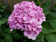 The Full Blossom (grinnin1110) Tags: charlotte unitedstatesofamerica flora northamerica hydrangeaceae northcarolina hydrangea thuoanh usa mecklenburgcounty nc unitedstates us