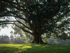 A Grand Old Tree (Marcia H) Tags: 2017 australia sydney botanicalgarden sabbatical tree