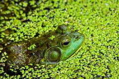 Frog Camouflage (Eric Tischler) Tags: bullfrog ohio water green