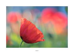 couleurs (Mamat151) Tags: coquelicot fleur été