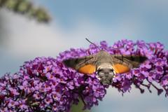 HUMMINGBIRD HAWK-MOTH (holgerreinert) Tags: 2018 flieder gx80 garten insects insekten juni mzuiko oly60 schmetterlingsflieder sigma60 sommerflieder wohnanlage