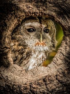 Owl Peep Hole