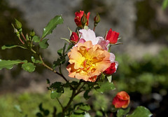 Shrub rose Jazz in the garden, Norway (Ingunn Eriksen) Tags: shrubrose buskrose rosejazz rose flower mygarden nikond750 nikon
