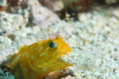 Yellow Jawfish spitting.jpg (Black Fin Grouper) Tags: nature water sea ocean blue coral reef fish natur portrait art