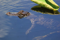 American alligator (Alligator mississippiensis) (im2fast4u2c) Tags: american alligator mississippiensis gator or common crocodilian reptile apex predators sheldon lake state park animal wildlife