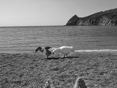 Ducks on the beach (panoskaralis) Tags: ducks birds beach tartibeach sand foot sun sunlight tuning summer greeksummer summerholidays greece greek hellas hellenic lesvos lesvosisland mytilene aegean aegeansea outdoor landscape blackandwhite blackwhite greekisland relax