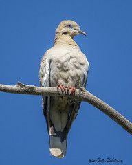 white winged dove (Pattys-photos) Tags: white winged dove camasnationalwildliferefuge idaho pattypickett4748gmailcom pattypickett