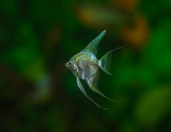 'Platinum White' - Skalar 2 (Bojan Žavcer) Tags: skalar fish animal macro closeup sony sonyilce7r fe90mmf28macrogoss pterophyllumscalare macromademoiselle