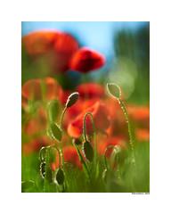 (david Ramalleira) Tags: davidramalleiraphotography davidramalleira nikon nature naturaleza natureart naturephotography naturesfinest naturesart natura flores flowers flower spring primavera macro macrophotography