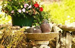 Scrub my back please! (Jay Bees Pics) Tags: birds woodpigeons bath birdbath heatwave garden calver derbyshire summer2018 ngc npc