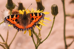 Small Tortoise Shell Butterfly. (f_gray1) Tags: orange black butterfly insect colourful colours animal wildlife nature flowers life photo photograph photography macro