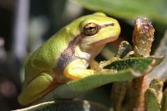 new generation of 2018 (bugman11) Tags: hylaarborea treefrog fauna frog frogs animal animals amphibian amphibians amsterdamsewaterleidingduinen zandvoort thenetherlands nederland nature canon 100mm28lmacro green boomkikker macro