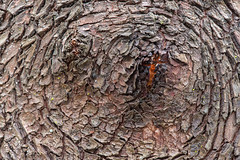 Eye (jeff's pixels) Tags: bark tree nature madrona