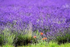 Purple summer. (pstone646) Tags: flowers plants purple lavender poppies nature kent colour flora dof field landscape