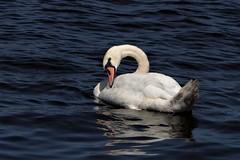 Seul au monde (frenziM´s little world) Tags: swan cygne schwan bleu blue white lake