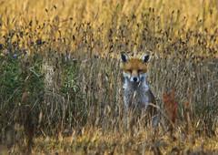 Watchful fox (awardphotography73) Tags: vixen animals orange forestfarm cardiff naturereserve nature wildlife summer fox